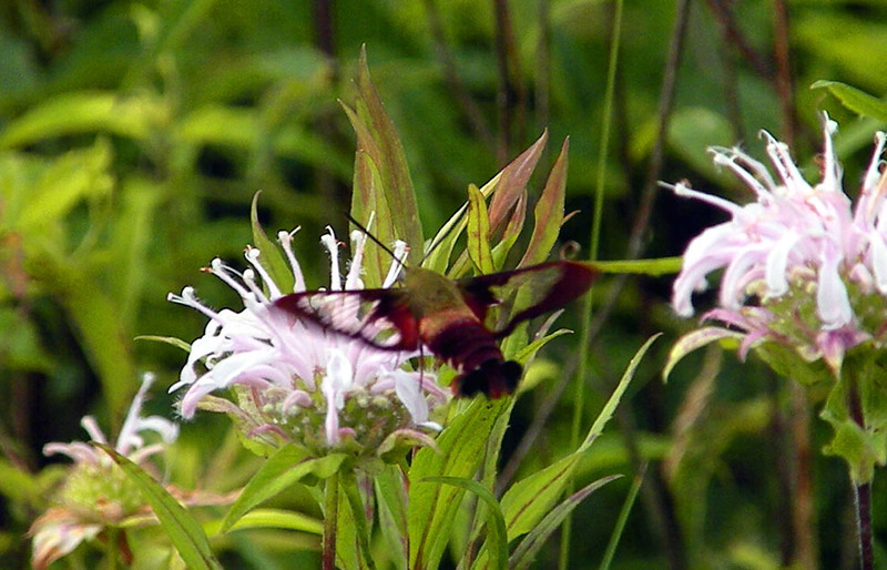 Clearwing Hawk Moth and wild bergamot @ Pigpen Flats Meadow  Alarka Laurel NC