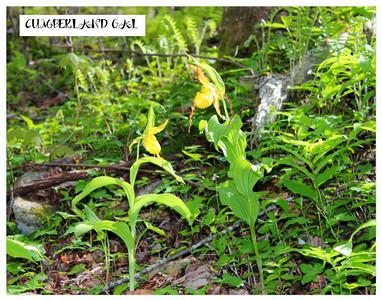 Yellow Lady Slipper Hike