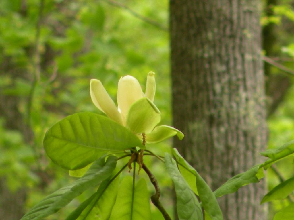 Cucumber Magnolia<br /> Magnolia acuminata